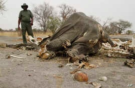 FILE - a game ranger stands next to a rotting elephant carcass poisoned by poachers with cyanide in Hwange National Park in Zimbabawe, Sept. 29, 2013.  Hundreds of vultures in Namibia died after feeding on an elephant carcass that poachers had poison