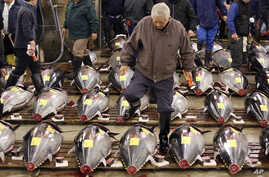 FILE - A prospective buyer inspects the quality of fresh tuna before the first auction of the year at Tsukiji fish market in Tokyo.1