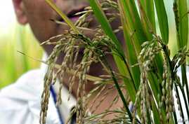 """FILE - International Rice Research Institute (IRRI) bioplant scientist Sophan Datta shows during a press tour a variety of experimental """"golden rice"""" being tested inside sealed IRRI greenhouse in Laguna, Nov. 27, 2003."""