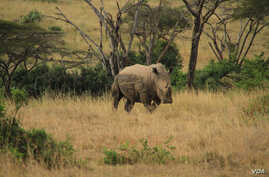 A rhino in Nairobi National Park, Kenya, September 20, 2012. (J. Craig/VOA)