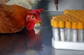 Health workers take a blood sample from a chicken in Hong Kong, April 11, 2013.