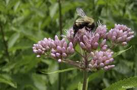 A bumblebee (a worker caste Bombus perplexus) is seen foraging on a flowering joe-pye-weed (Eupatorium maculatum) in Vermont, United States, in this undated handout picture courtesy of Leif Richardson. (Courtesy: UVM)