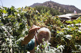 A farmer inspects beans on a farm on the outskirts of Runge town, some 60 km (37 miles) north of Santiago, Chile, Feb. 3, 2012.