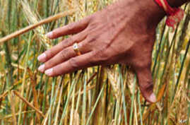 Wheat Rust Threatening Crops in Africa, Asia and Mideast