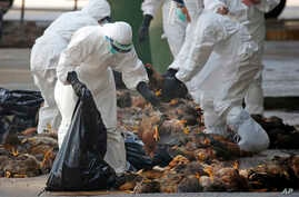 FILE -  Health workers in full protective gear collect dead chickens killed by using carbon dioxide,  after bird flu was found in some birds at a wholesale poultry market in Hong Kong, Dec. 31, 2014.