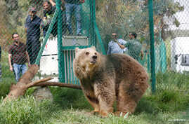 Lola the bear, one of two surviving animals in Mosul's zoo, along with Simba the lion, is seen at an enclosure in the shelter after arriving to an animal rehabilitation shelter in Jordan, April 11, 2017.