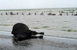 A dead cow lies on a Texas highway next to Harvey floodwaters, near Fulton, Texas, Aug. 26, 2017.