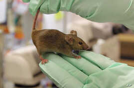 A protein found in young mice, which is also found in humans, saw the formation of new blood vessels and improved blood flow in older mice.