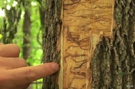 The larvae of the emerald ash borer devastate trees across the northern US.