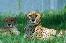 Cheetahs at the National Zoo's science facility in Front Royal, Virginia.