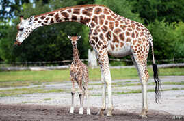 Chester Zoo's newest baby giraffe Kidepo steps out for the first time with his mother Orla as the zoo show off the three calfs born at the zoo within eight months at Chester Zoo in Chester, north west England on August 3, 2015.