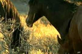 Author Urges Protection for American Wild Horses