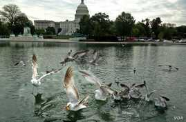 Sea gulls fight over food thrown to them in the Southwest duck pond outside Capitol Hill in Washington, DC, May 6, 2014. (Diaa Bekheet/VOA)