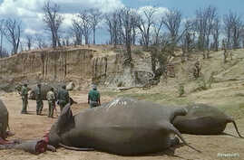 FILE - A group of elephants, believed to have been killed by poachers, lie dead at a watering hole in Zimbabwe's Hwange National Park, Oct. 26, 2015.