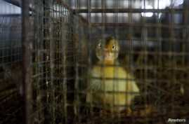Newly hatched duckling caged at a poultry egg trading market in Wuzhen town, Tongxiang, Zhejiang province, China, April 18, 2013.