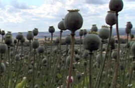 Britain are harvesting a surprising new crop field of opium poppies