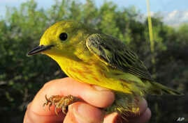 FILE - This June 18, 2016, photo provided by the U.S. Geological Survey shows a Yellow Warbler in Nome, Alaska.