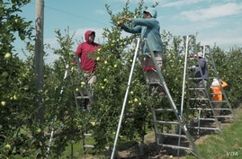 Immigrant workers in Adams County, PA, thin the apple crop of inferior fruit so the healthy apples can grow. (M. Kornely/VOA)