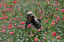 FILE - A soldier walks among poppy plants before a poppy field is destroyed during a military operation in the municipality of Coyuca de Catalan, Mexico, April 18, 2017.