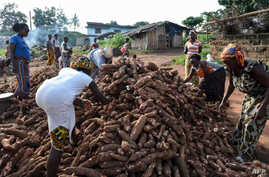 "Women select cassava tubers (manioc), on a production site of ""attieke"", a side dish made from cassava, in Affery, Ivory Coast, June 18, 2018."