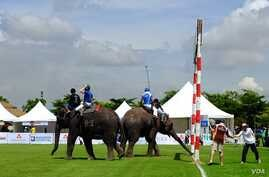An elephant competing for Citibank inspects the goal line, 2014 King's Cup Elephant Polo Tournament in Samut Prakan province, on the outskirts of Bangkok, Aug. 28, 2014. (Steve Herman/VOA).