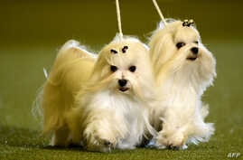 "Maltese dogs are presented during a dog show at the ""Hund & Katz"" pets fair on May 11, 2014 in Dortmund, western Germany. The international dogs and cats show was running from May  9-11, 2014."