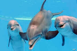 Pregnant Dolphins