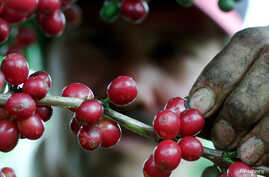 Major Latin American growers such as Costa Rica present major difficulties for Cameroon's once prolific producers.