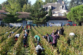"""(File) workers collect red grapes in the vineyards near Bordeaux, France. A warmer world will push food prices higher, trigger """"hotspots of hunger"""" among the world's poorest people, and put the crunch on Western delights like fine wine and robust cof..."""