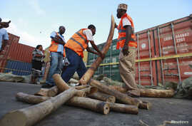 Kenya Ports Authority workers and Kenya Wildlife Services (KWS) officials arrange elephant tusks recovered at the container terminal in the coastal city of Mombasa Jul. 8, 2013.