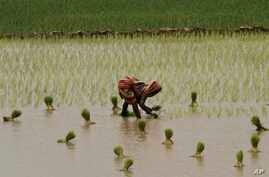 An Indian woman plants rice saplings at a paddy field after monsoon rains on the outskirts of Puri, Orissa, Aug. 21, 2014.