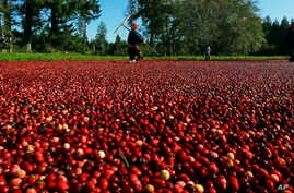 FILE - Farmworkers walk through a cranberry bog on a farm in Ilwaco, Washington, Oct. 11, 2016. The European Union has listed cranberries among the U.S. goods that it might target for retaliation for U.S. global tariffs on steel and aluminum.