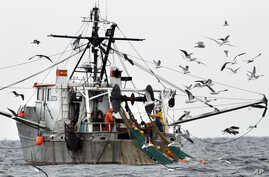 FILE - Gulls follow a shrimp fishing boat as crewmen haul in their catch in the Gulf of Maine, Jan. 6, 2012.