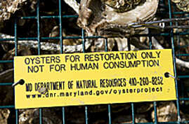 Oysters from cages fair significantly better than oysters planted directly into the marine sanctuary.