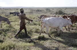 FILE -A Turkana man walks with cows as he carries a rifle near Baragoy, Kenya January 31, 2016. Turkana men herd cattle, sheep and goats, protecting their livestock from rivals in the dry Turkana region in the north of Kenya.