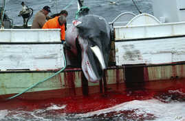 FILE - A whale is hauled onto a fishing boat after it was killed in the Atlantic Ocean, off the west coast of Iceland, Aug. 23, 2003.