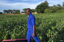 An agriculture extension worker in Zambia inspects maize fields in the wake of an army worms invasion. (Courtesy - Derrick Sinjela in Zambia)