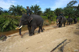 Indonesian mahouts and elephants conducting a patrol along Leuser Ecosystem corridor close to palm oil plantations in Leuser National park, South Aceh, April 16, 2016.
