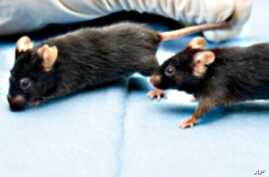 Tumors Shrink When Mice Live in Stimulating Environments