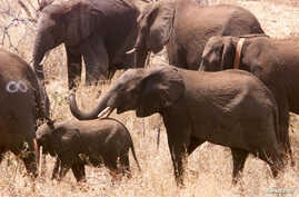 FILE - Some of the first 40 elephant wander round in the bush after being released into newly-named Great Limpopo Transfrontier Park in Gaza Mozambique, October 4, 2001.