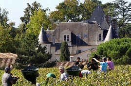 FILE - Workers collect red grapes in the vineyards of the famed Chateau Haut Brion during the grape harvest in Pessac-Leognan, near Bordeaux, southwestern France, Oct. 7 , 2013. Floods, drought, frost and hail cut into world wine production this yea