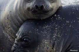 FILE - One-month-old southern elephant seal pups rest on the Punta Delgada beach of the Valdes Peninsula in Argentina's Patagonia region.