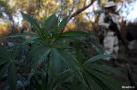 """A soldier keeps guard at a marijuana plantation near an area known as """"El Hongo"""" on the outskirts of the municipality of Tecate, on the border with the U.S. California state, Sept. 25, 2015."""