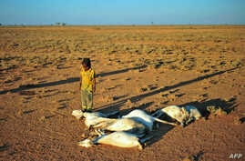 A boy looks at a flock of dead goats in a dry land close to Dhahar in Puntland, northeastern Somalia, on December 15, 2016.  Drought in the region has severely affected livestock for local herdsmen.