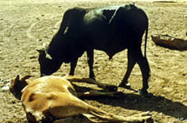 Cattle Plague Declared Eradicated