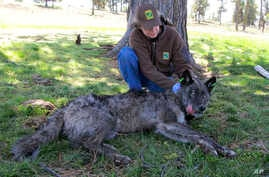 In this May 19, 2011 photo, provided by the Oregon Department of Fish and Wildlife, the Imnaha wolf pack's alpha male OR-4 lies down after being refitted with a working GPS collar in Wallowa County east of Joseph, Ore.