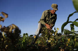 FILE - Farmer Diogenes Cheveco, 73, picks beans on unused government land that farmers are allowed to use to grow food and raise livestock, on the outskirts of Havana, Cuba, March 3, 2015.