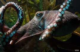 Inky the octopus is seen prior to his escape in this photo from the National Aquarium of New Zealand.