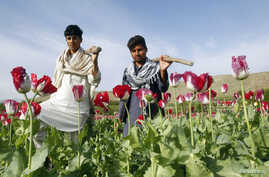 Farmers walk at a poppy field in Jalalabad province, April 7, 2013.