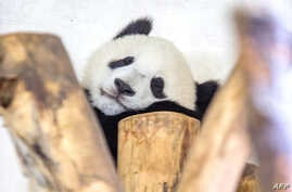A one-year-old panda Fu Bao born to Yang Yang takes a nap at the top of a tree at the end of the visitors hours at Schoenbrunn Zoo in Vienna, Austria, Aug. 27, 2014.